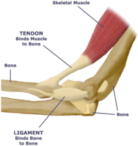 Tendon ligament diagram.png